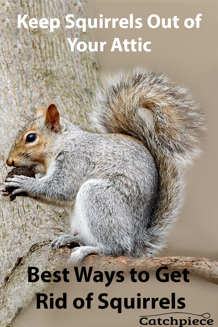 Keep Squirrels Out Of Your Attic Get Rid Of Squirrels Squirrel Mice Repellent