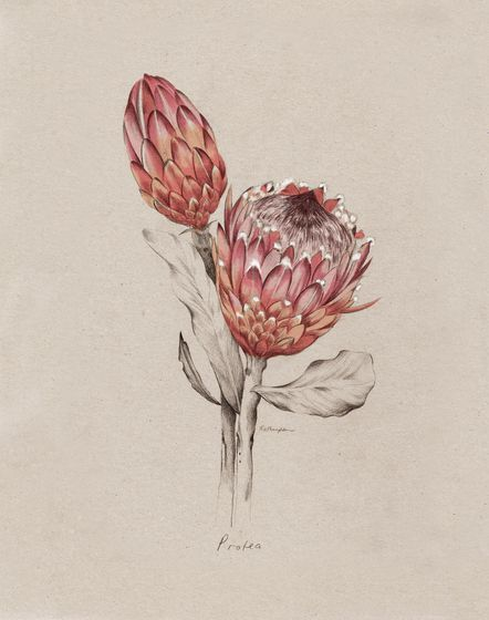 Protea Nz Home And Garden Magazine Kelly Thompson Illustrators Artists Agents Protea Art Botanical Drawings Botanical Illustration