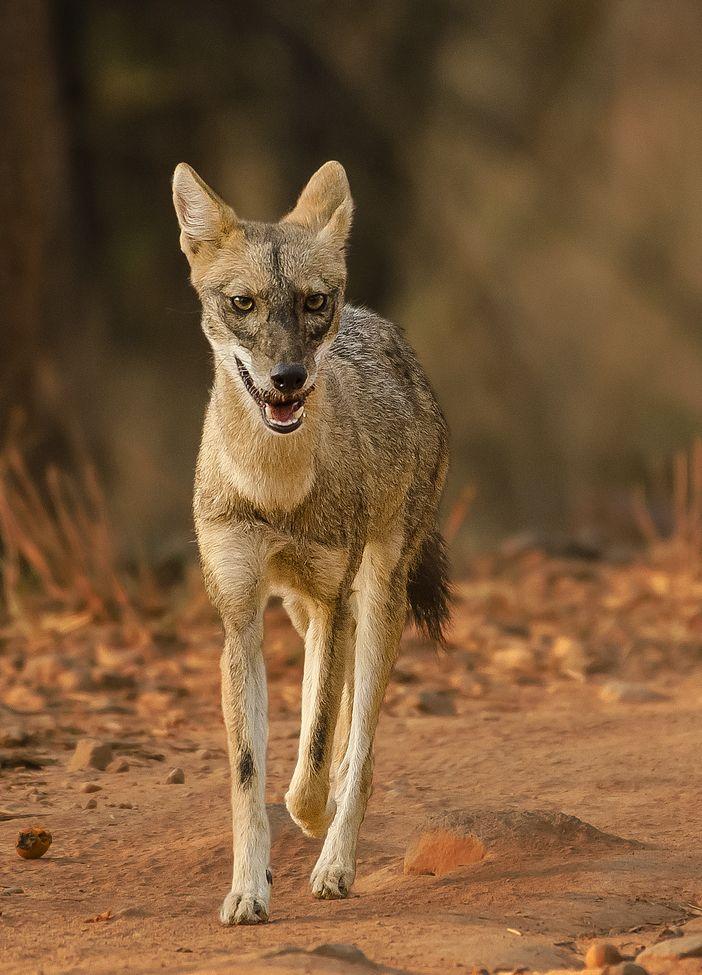 Bandhavgarh Wild dogs, African wild dog, Wildlife