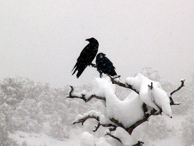 Image result for artwork ravens courting in snow