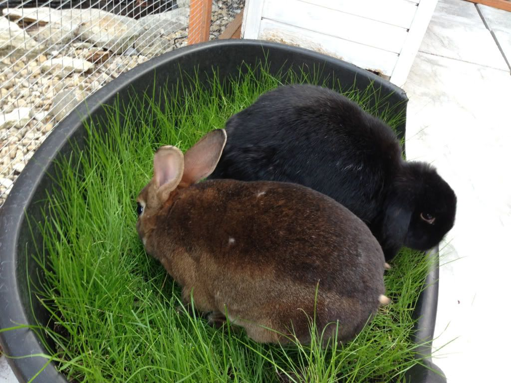 9b9a2af5f Grow grass in a plastic tub for bunnies who are in runs or indoors. Wheat  grass seeds and timothy hay seeds are available online.