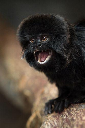 Goeldi's Monkey | Flickr - Photo Sharing!