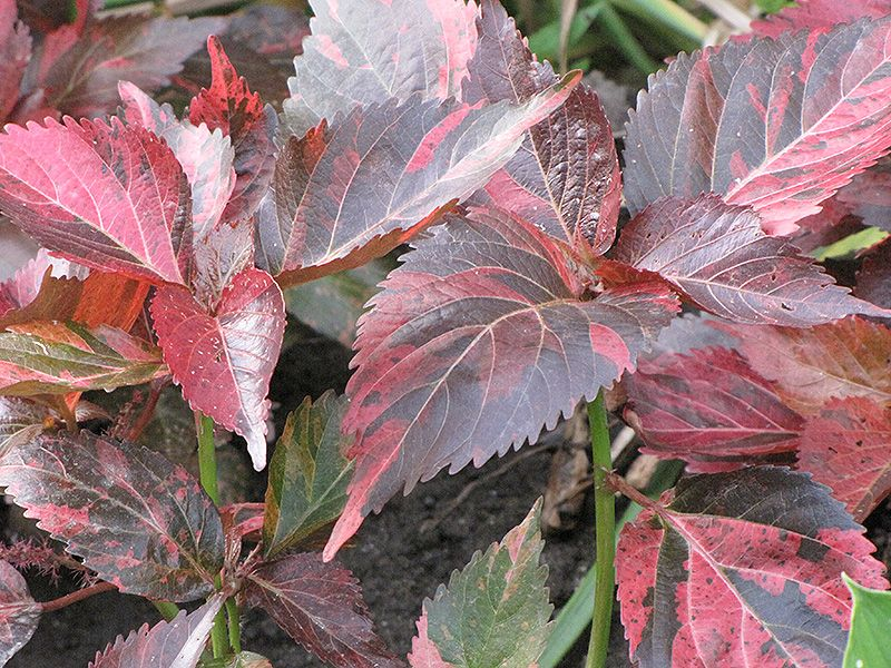 Image Result For Copper Plant Acalypha Wilkesiana Plants Miami