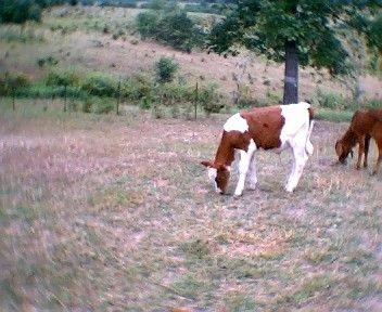 b143410e5238591709e9aed8986877d8 - How Long Does A Calf Have To Get Colostrum