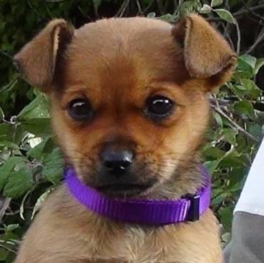 Hund Welpe Chihuahua Mischling Mischling Hundin 3 Monate Spanien Hunde Welpen Chihuahua Hunde Fotos
