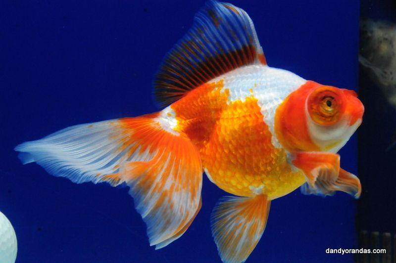 Red White Butterfly Telescope Dandyorandas Com In 2020 Fantail Goldfish White Butterfly Goldfish