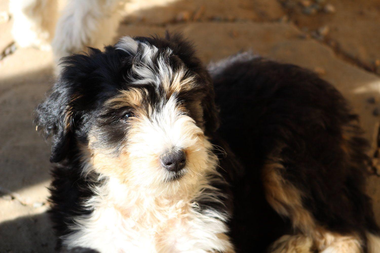 Bernedoodle in 2020 bernedoodle bernedoodle puppy dog skin
