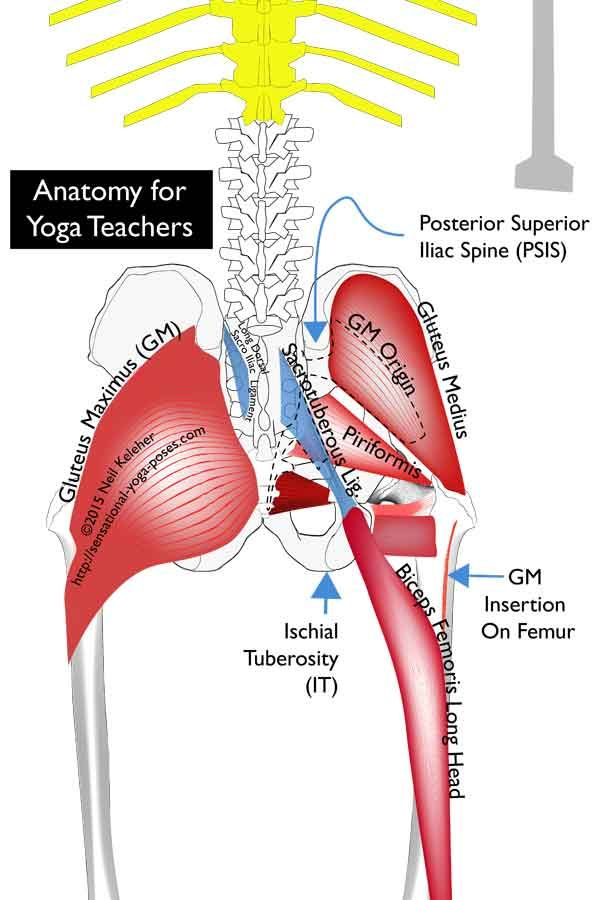 anatomy for yoga teachers: sacrotuberous ligament, long ...