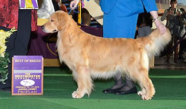 The Westminster Kennel Club Photo Golden Retriever Cute Dogs