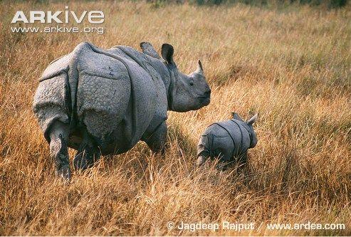 Indian rhino and calf | Rhino Love | Rhino facts, Rhino
