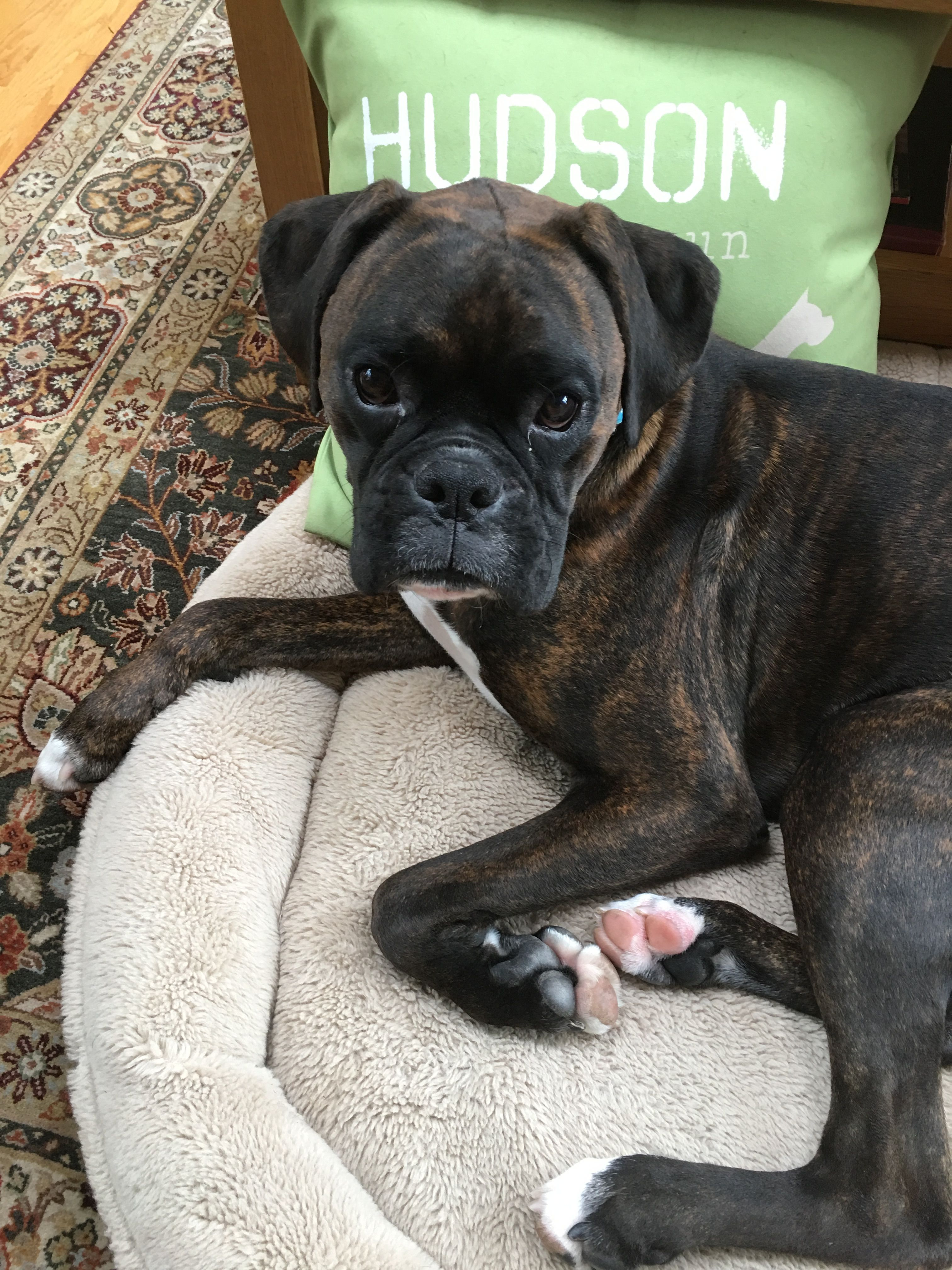 Beautiful Brindle Boxer Dog Breed Boxer Dogs Boxer Puppies