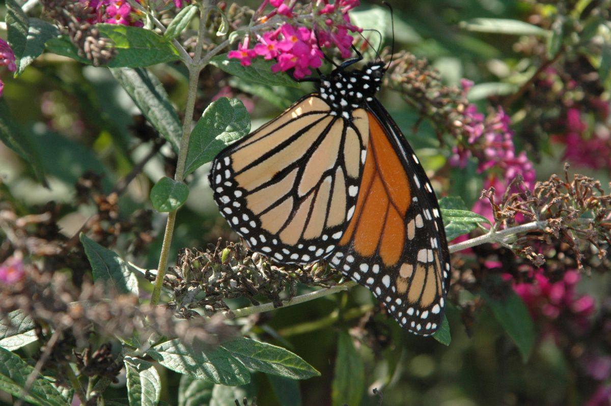 Monarch Butterfly On Buddleja Lo 798