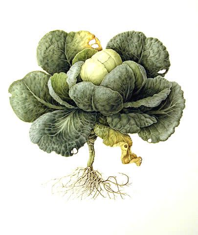 Cabbage Perfect For Skin Plant Illustration Vegetable