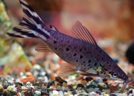Dianema Urostriatum Flagtail Porthole Cat Aquarium Catfish Tropical Fish Fish