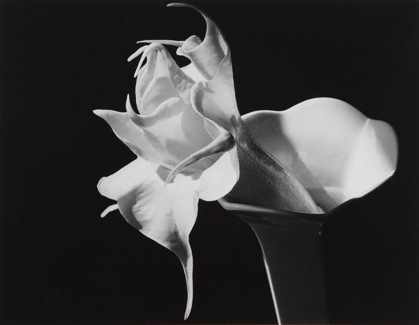 IMOGEN CUNNINGHAM Datura , 1940s Gelatin silver print, printed 1960s.