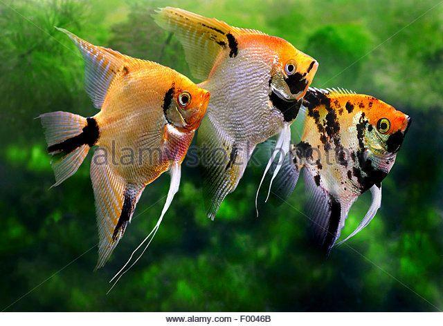 Freshwater angelfish stock photos freshwater angelfish for Freshwater angel fish