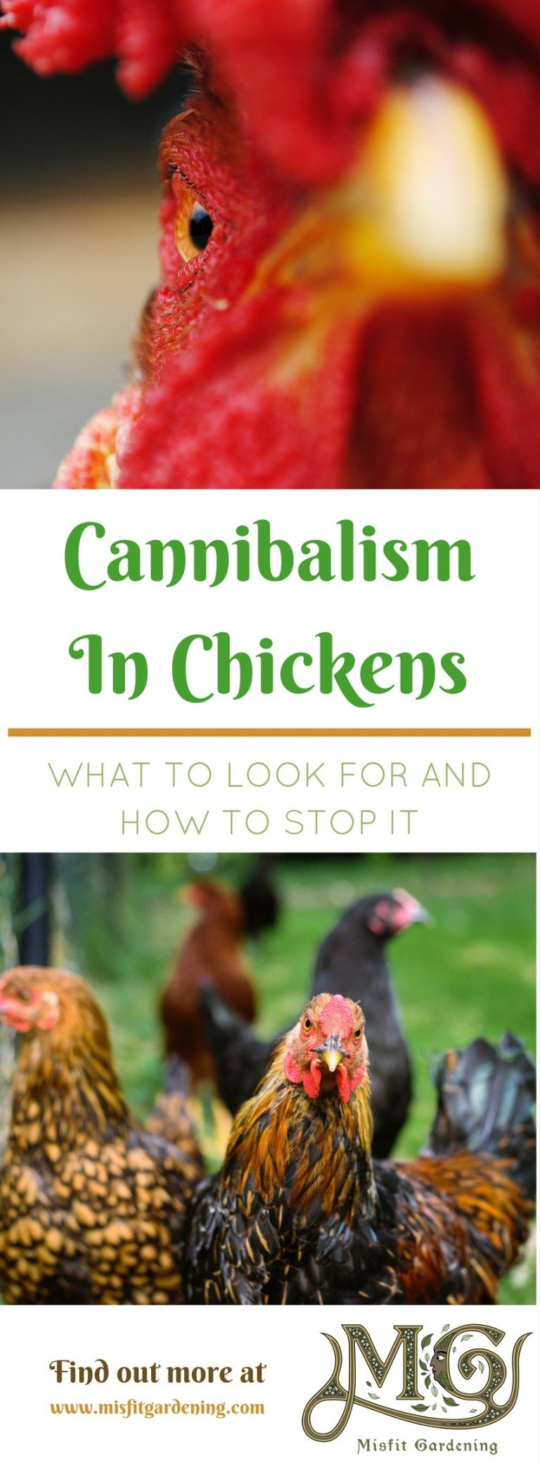 Cannibalism In Backyard Chickens | Chickens backyard ...