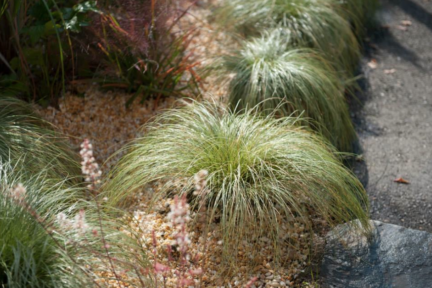 immergr ne pflanze segge carex comans frosted curls winterhart herbstgarten. Black Bedroom Furniture Sets. Home Design Ideas