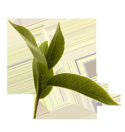 Green Tea Leaf Green Tea Plant Tea Leaves Green Tea