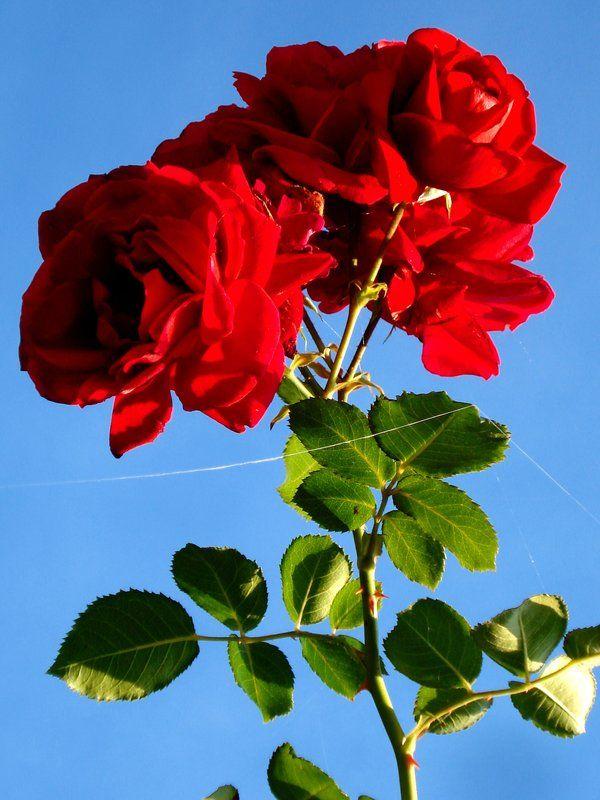 last rose in autumn by dieffi