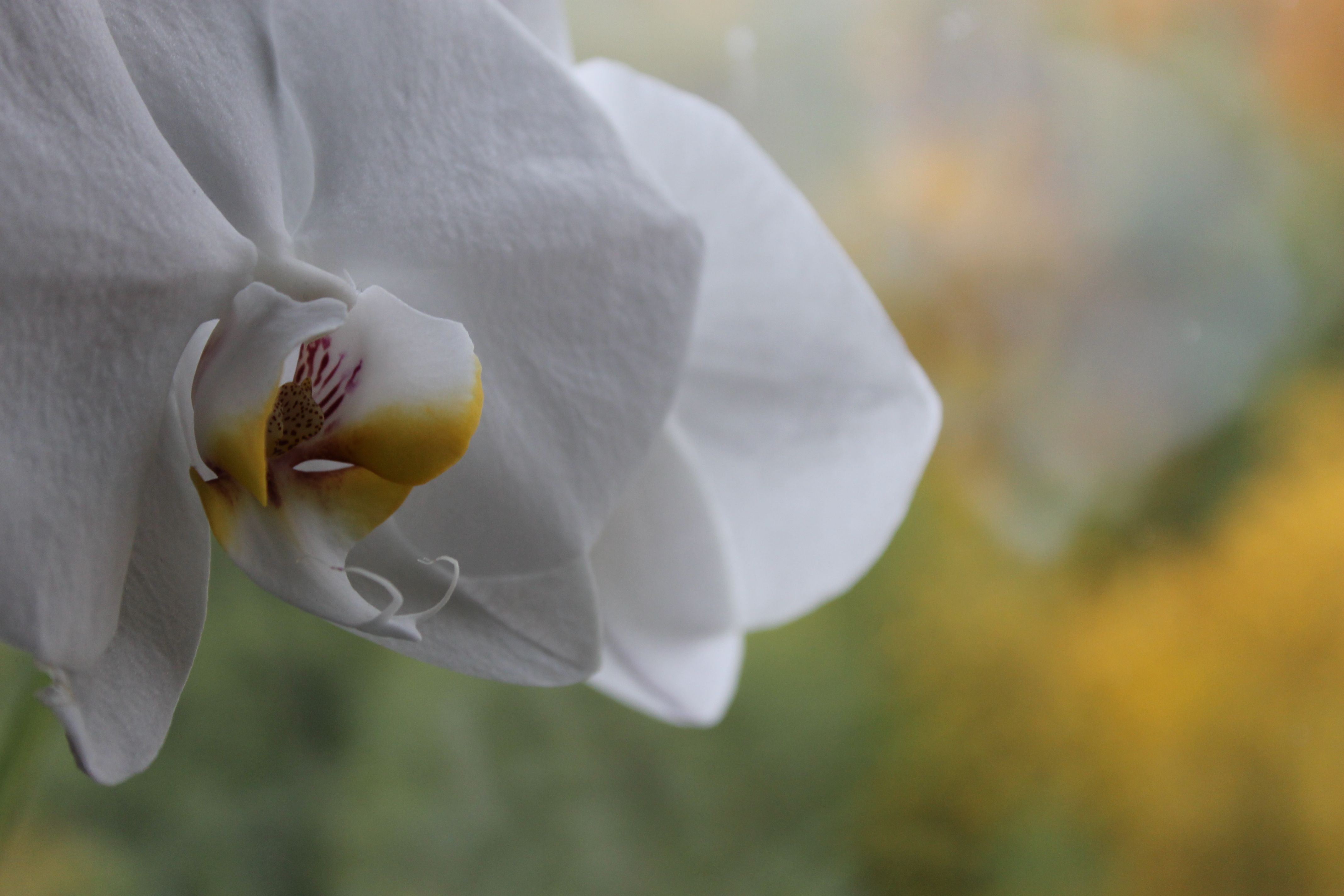 Flower - white orchid