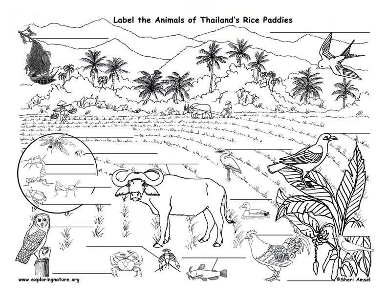 Http Www Exploringnature Org Graphics Biomes Rice Paddy Labeling72 Jpg Arctic Animals Biomes Food Web