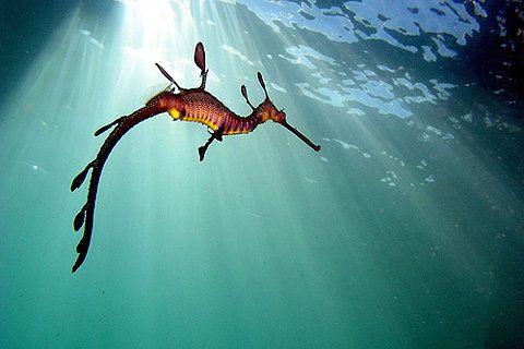 Community Post Sea Dragons Weedy Sea Dragon Ocean Creatures Leafy Sea Dragon