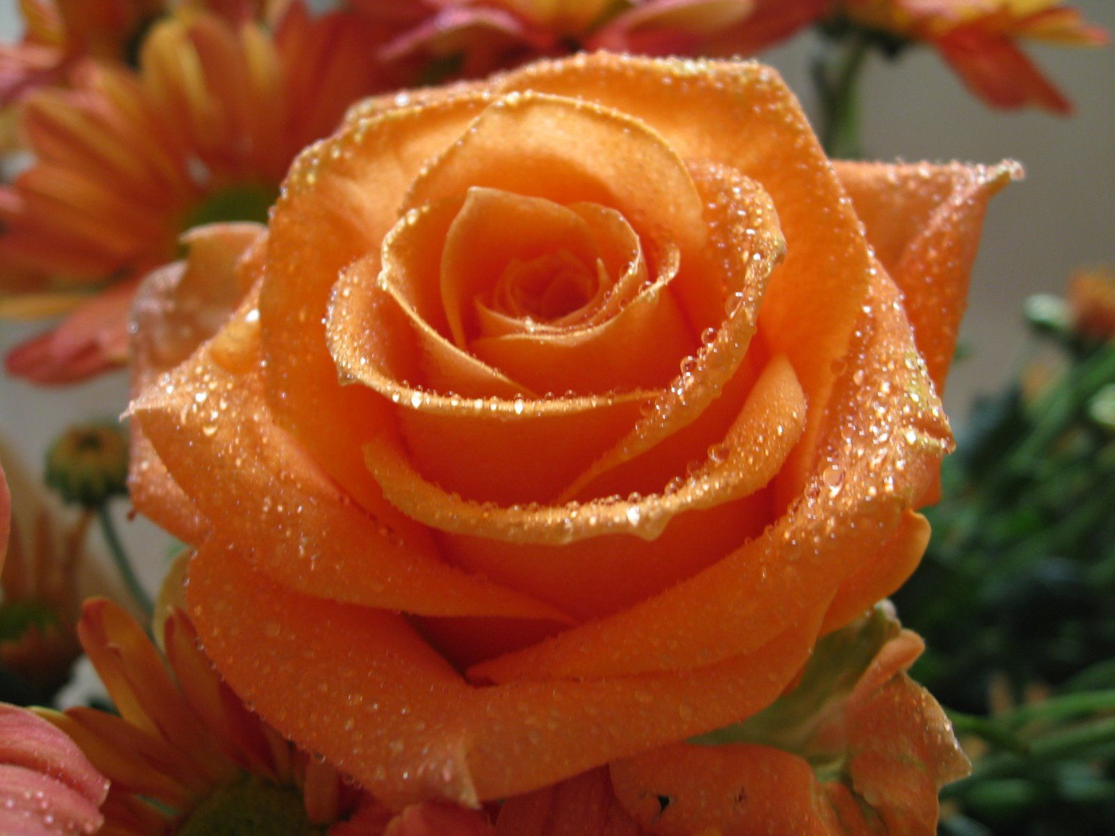 Orange rose pictures for wallpaper flowers for flower - Peach rose wallpaper ...