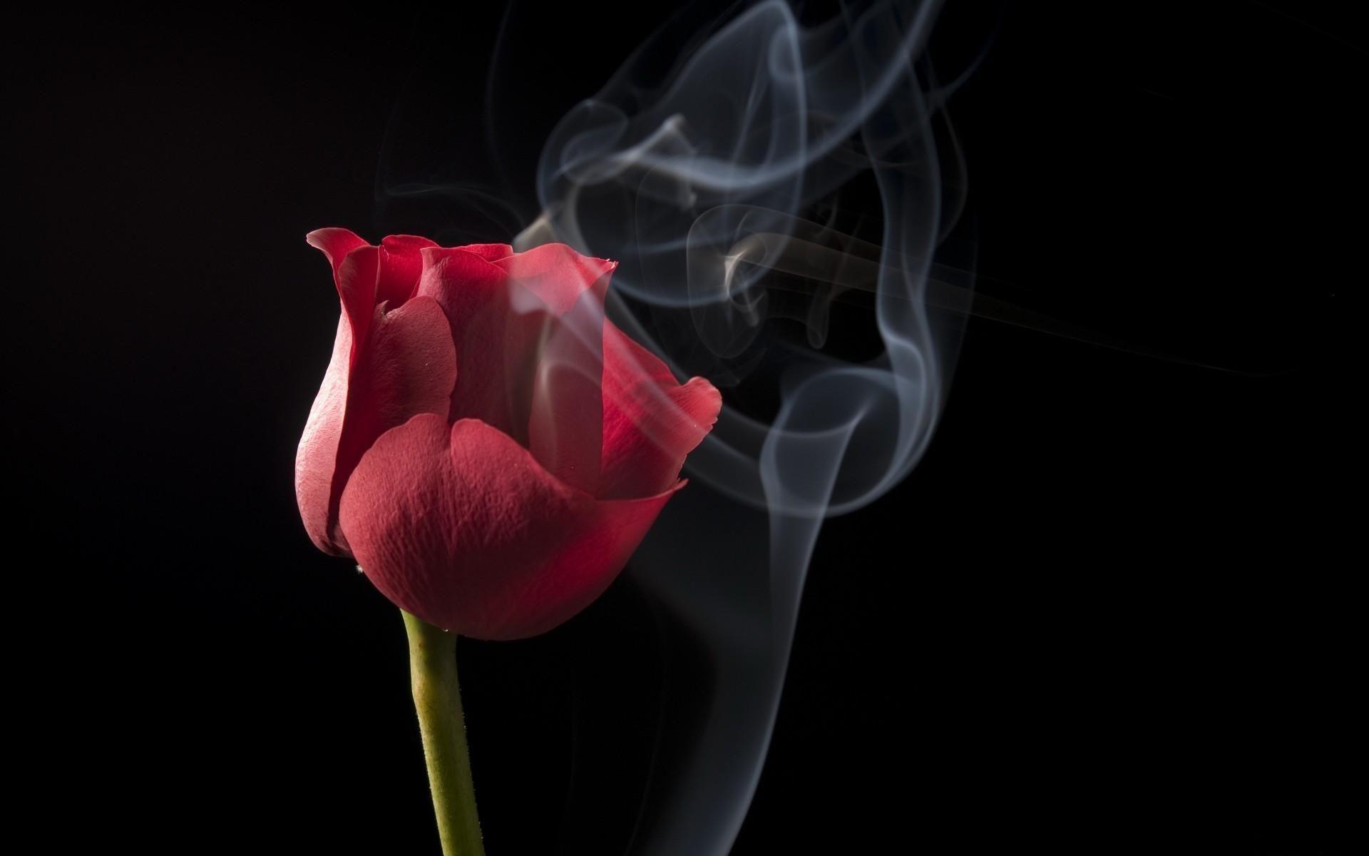 Wallpaper Bunga Mawar Hitam Hd Wallpaper Naik Asap Hitam Hd Background Layar Lebar Definisi Wallpaper Bunga Mawar Merah 34 Di 2020 Wallpaper Bunga Bunga Mawar Ungu