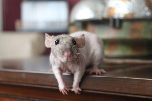 Hairless Rat Sooooo Cute And Sweet Pet Rats Cute Rats Rats
