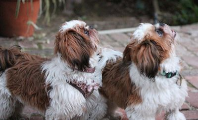 Sparty and Bella are two Shih-Tzu puppies growing up in Los Angeles, CA.