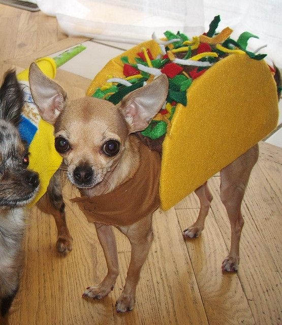 chihuahua in a taco costume- ironic and mine only gets to be a hot dog & stoli taco   Pinterest   Taco costume Costumes and Dog