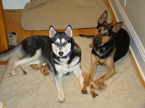 Beautiful Buddies German Shepherd And Siberian Husky Adorned In