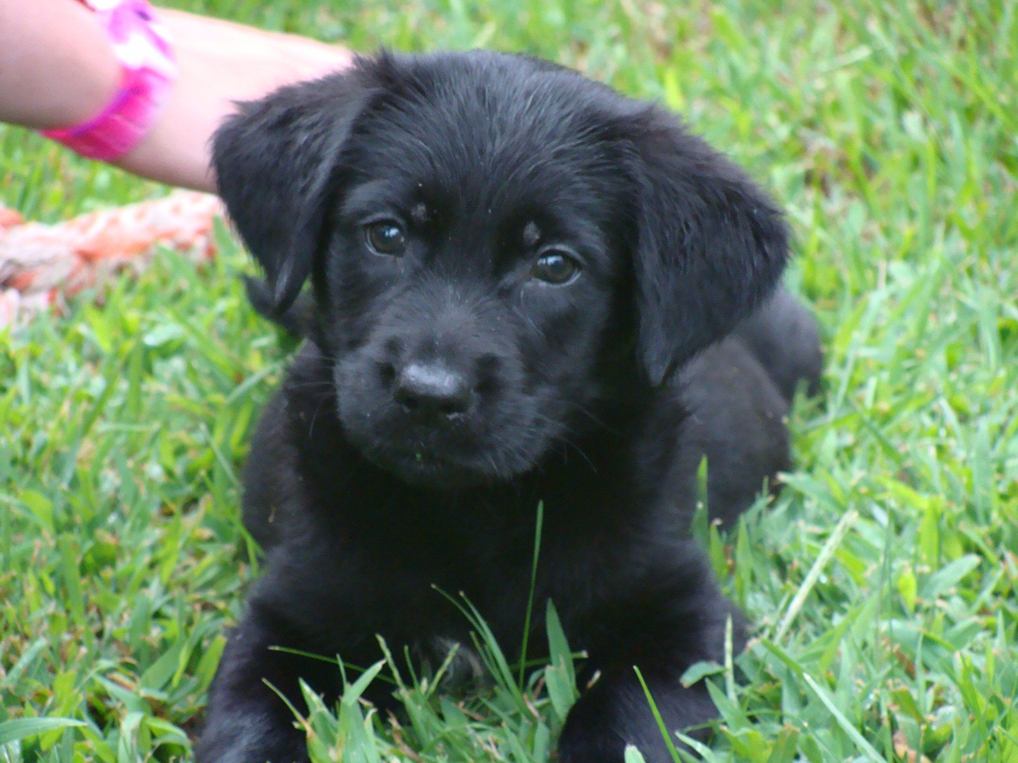 Buddy My Uncle S Black Lab Puppy Cute Puppy Pictures Lab Puppies Dog Pond