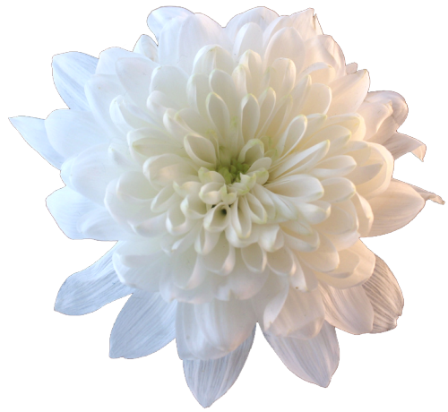 An Entry From Transparent Flowers Powered By Tumblr Com White Chrysanthemum Flowers Transparent Flowers