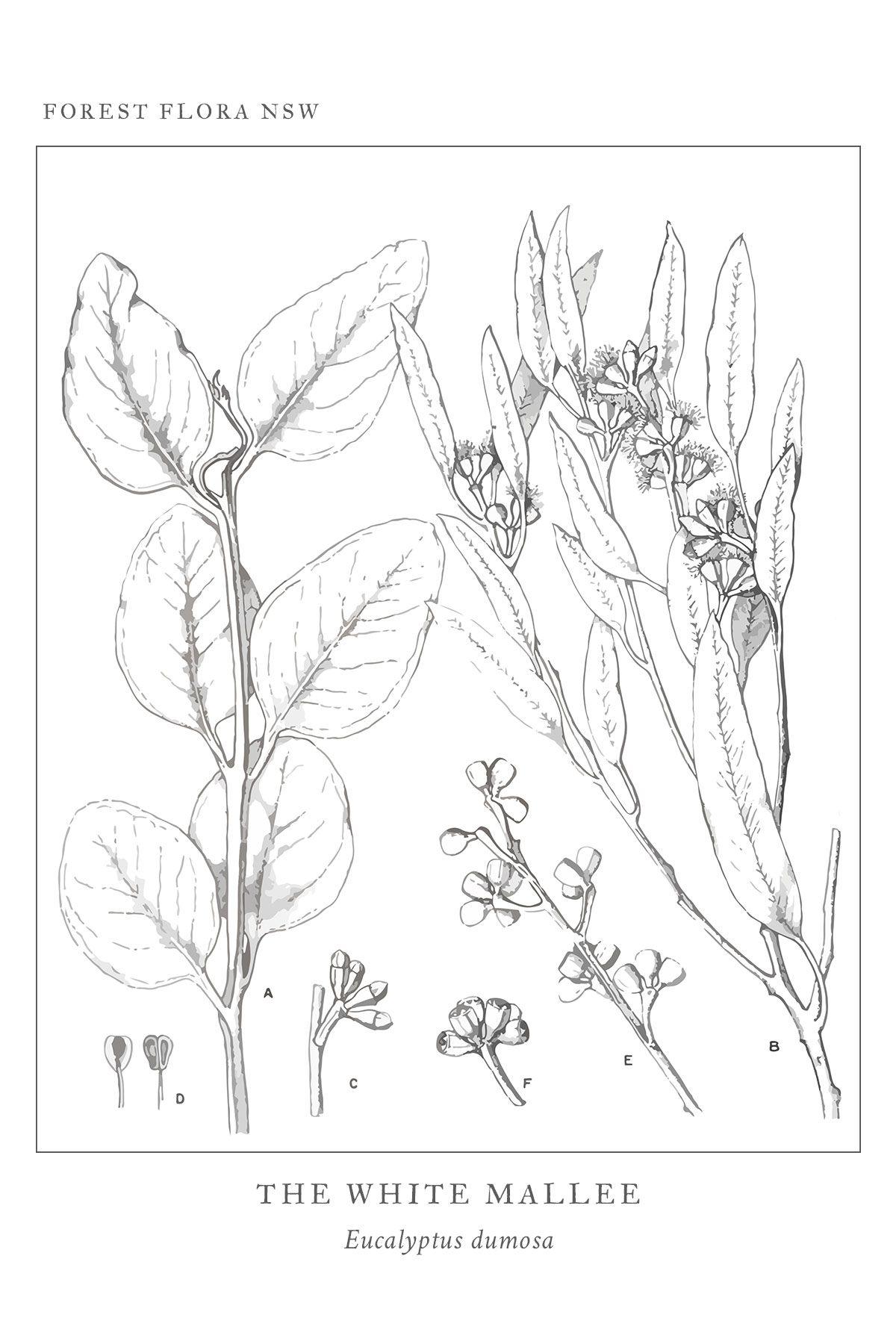 Free printable vintage eucalyptus diagram