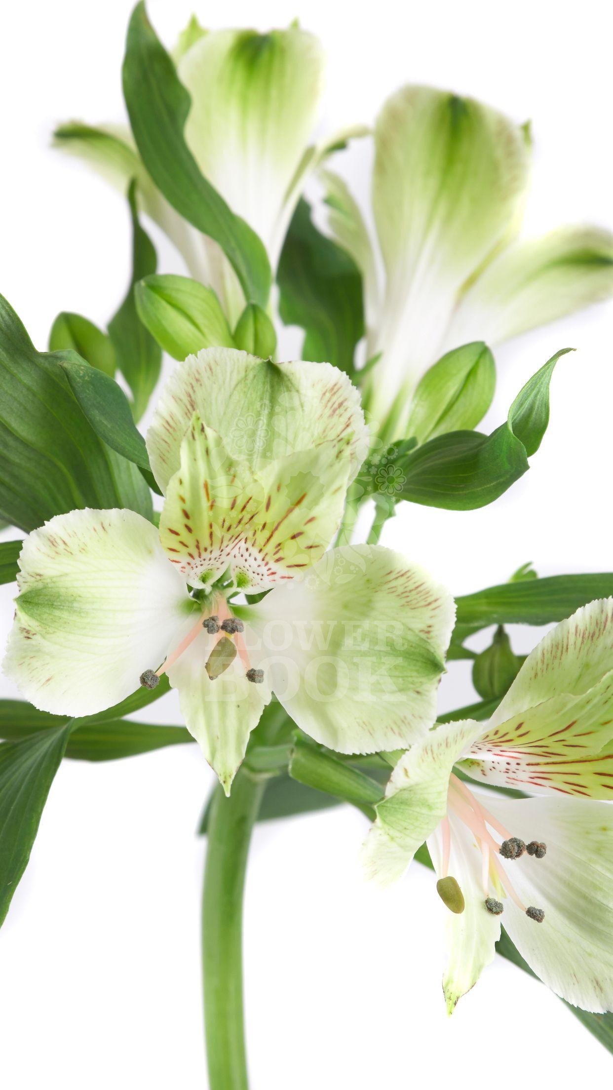 Alstroemeria Greenfield At Flowerbook App Alstroemeria Hydrangea Garden Flower Garden