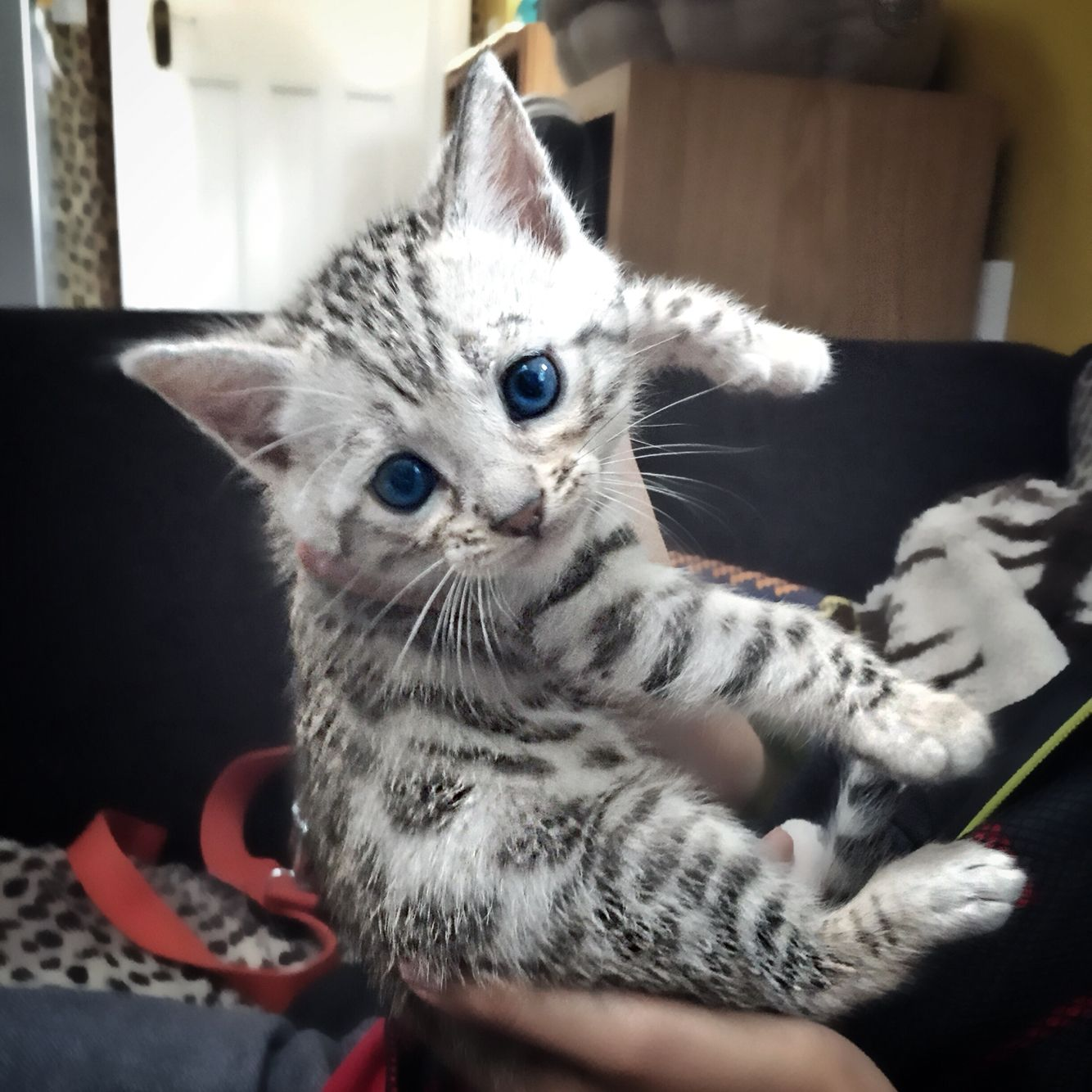 Thunder Is Pictured Here At 6 Week Old Full Pedigree Beautiful Rosetted Silver Bengal Asian Leopard Cat Silver Bengal Cats