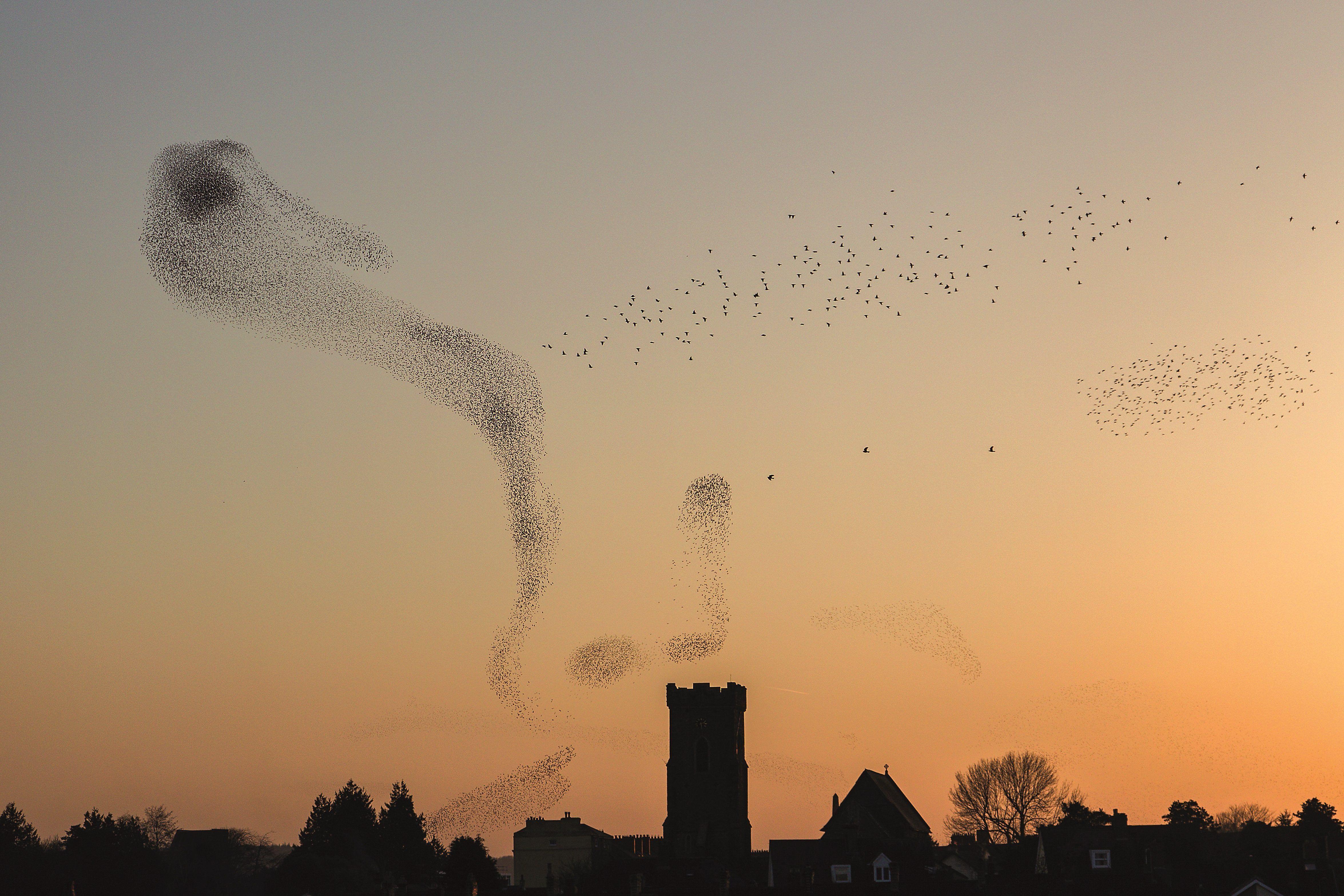 Carmarthen starlings