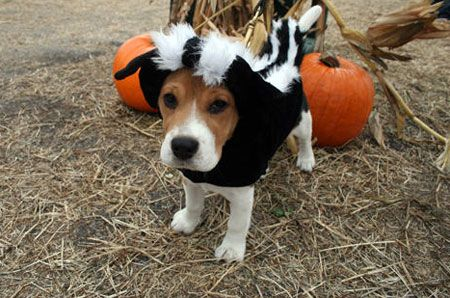 Skunk Beagle Dog Halloween Costumes Dog Halloween Beagle