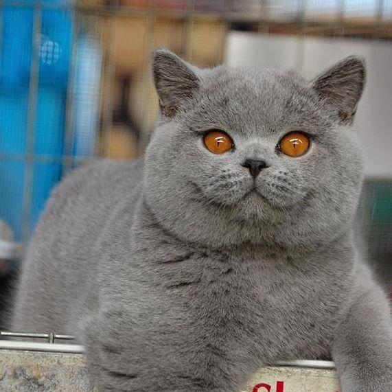 Blue Cat Orangey Eyes British Blue Cat Cats Blue Cats