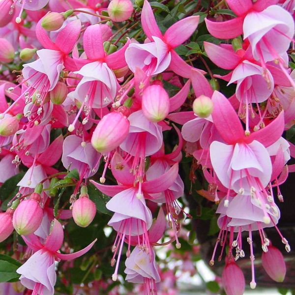 Trailing fuchsia paloma plants for hummingbirds and butterflies trailing fuchsia paloma single flowers with pink sepals and a light pink corolla grows 2 3 tall mightylinksfo
