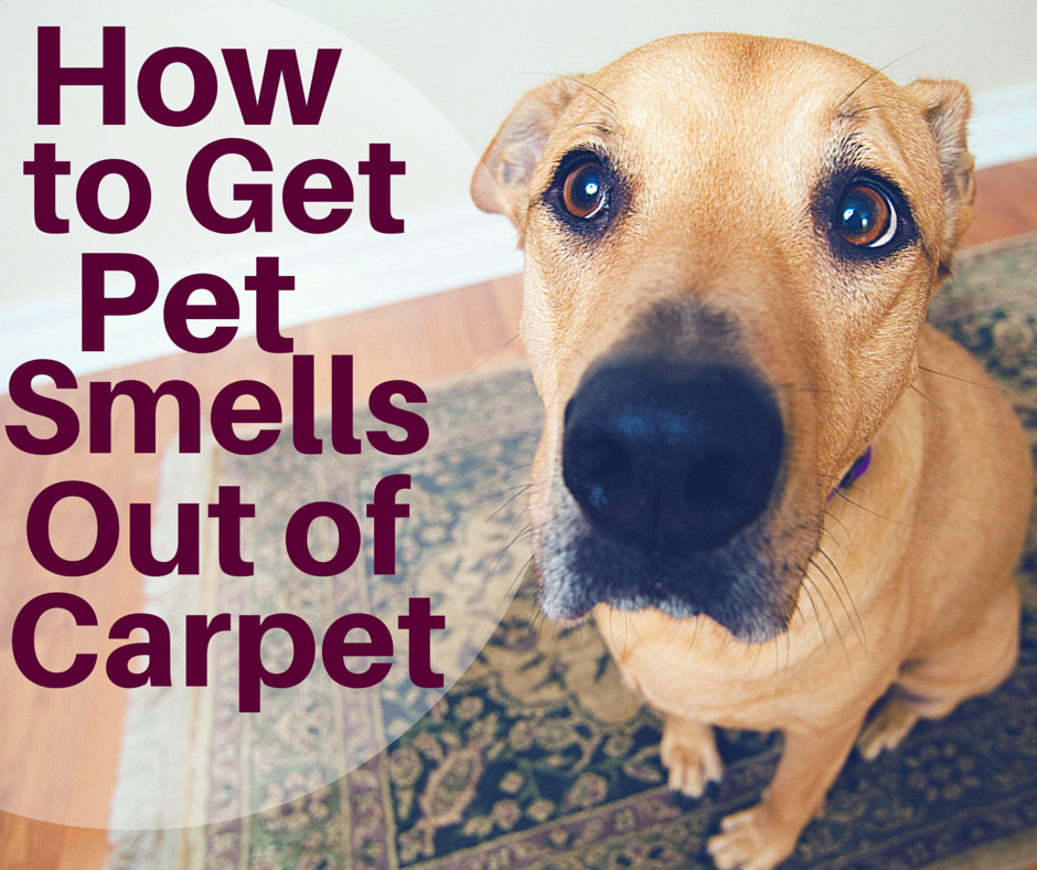 How To Get The Smell Of Pet Urine Out Of Carpet
