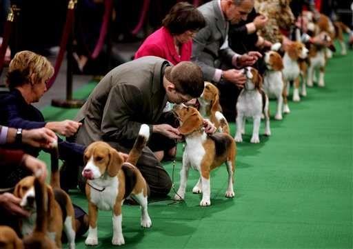 Westminster Dogs 2012 @Tim Brigham