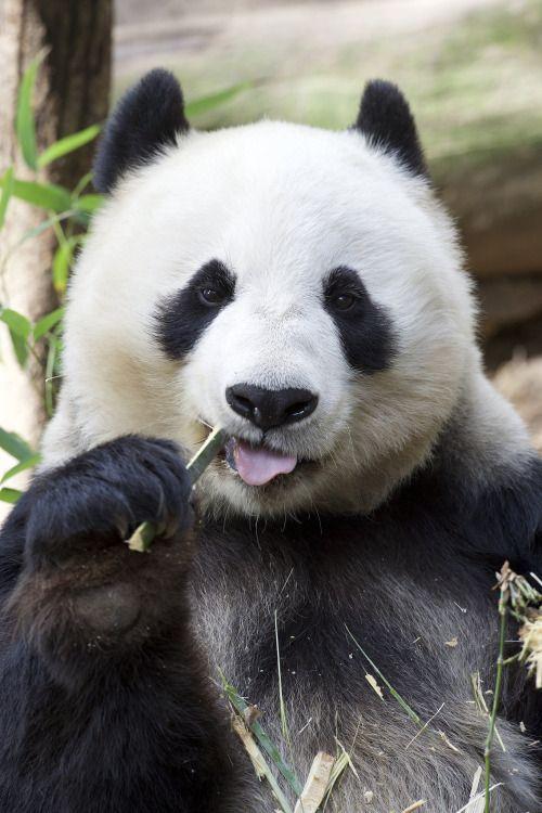 "sdzoo: "" Bai Yun, the grande dame of Panda Trek | photo by Mollie Rivera """