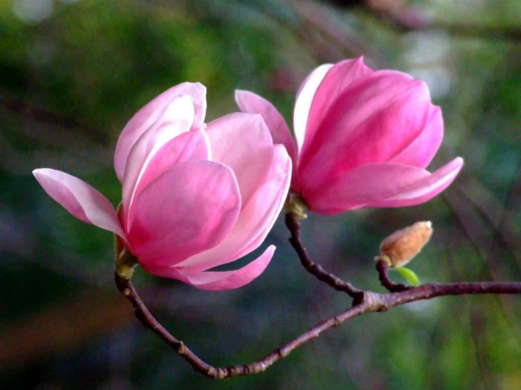 Pin On Magnolias Magnoliaceae