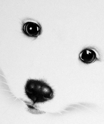 Cute Puppy Japanese Spitz White Dog Pencil Drawing By Ileanahunter