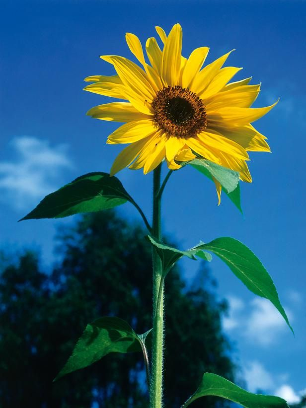 Growing Sunflowers When To Plant And How To Grow Sunflowers Growing Sunflowers Planting Sunflowers Fast Growing Plants