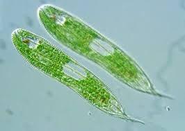 Image result for euglena microscopic organisms pinterest image result for euglena ccuart Images