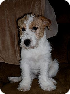 Fowlerville Mi Wirehaired Fox Terrier Dachshund Mix Meet Cece